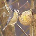 Mésange charbonnière - Oiseau