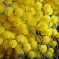 Mimosa - Acacia dealbata