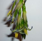 Billbergia nutans 'Queen's Tears'