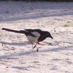 Pie bavarde - Oiseau