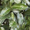 Prunus laurocerasus - Laurier-cerise