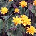 Calathea crocata - Plante Paon