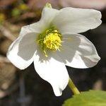 Hellebore niger - Helleborus - Rose de Noël