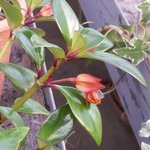 Nematanthus - Plante Poisson Rouge - Hypocyrta