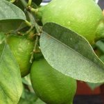 Citron - Citrus limon - Agrume