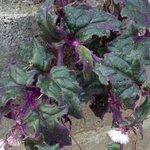 Gynura aurantiaca 'Purple Passion'