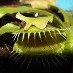Dionée - Plante carnivore