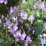 Streptocarpus - Primevère du Cap
