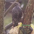 Etourneau sansonnet - Oiseau