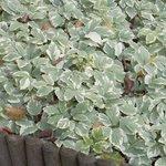 Aegopodium - Herbe-aux-goutteux