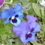 Pensée - Viola - Violette