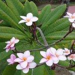 Frangipanier - Plumeria rubra