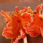 Tulipier du Gabon - Spathodea
