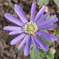 Anemone blanda -  Anémone de Grèce