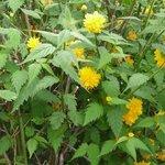 Corête du Japon - Kerria japonica