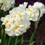 Narcisse 'Bridal Crown'