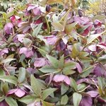 Hellebore hybride - Helleborus x hybridus