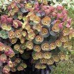 Euphorbe amygdaloides 'Blackbird' - Euphorbia