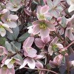 Hellebore nigercors 'Pirrouette' - Rose de Noël