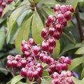 Pieris japonica 'Valley Valentine' - Andromède