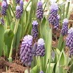 Muscari latifolium