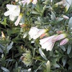 Convolvulus cneorum - Liseron