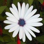 Osteospermum - Marguerite du Cap - Dimorphothéca