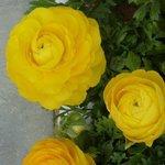 Renoncule - Ranunculus
