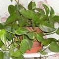 Scindapsus aureus - Pothos - Epipremnum