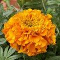 Rose d'Inde - Tagetes erecta