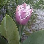 Tulipe Cummins frisée - Tulipa