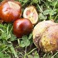 Marronnier - Aesculus hippocastanum