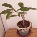 Baobab - Adansonia