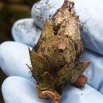 Déssèchement des boutons du rhododendron - Bud blast