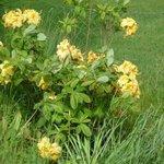 Azalée - Rhododendron
