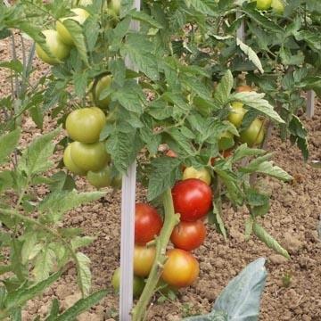 datant des tomates pourries ennemies