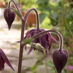 Ancolie 'Ruby Port' - Aquilegia