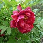 Pivoine arbustive 'Monsieur Georges Cassagne' - Paeonia