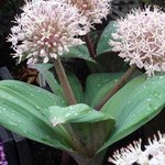 Allium karataviense - Ail du Turkistan