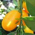 Kumquat - Fortunella margarita - Agrume