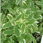 Menthe suaveolens à feuilles panachées