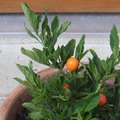Pommier d'Amour - Solanum pseudocapsicum