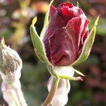 Oïdium sur rosier - Maladie du blanc
