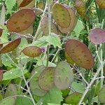 Monnaie-du-Pape - Lunaria annua