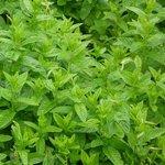 Menthe poivrée - Mentha piperita