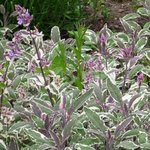 Sauge officinale 'Wurzburg' - Salvia officinalis