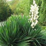 Yucca gloriosa - Yucca glorieux