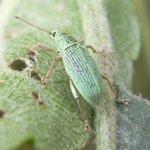 Phyllobius urticae