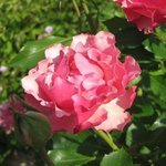 Rose 'Jean Cocteau' - Rosa