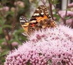 Belle-dame - Papillon